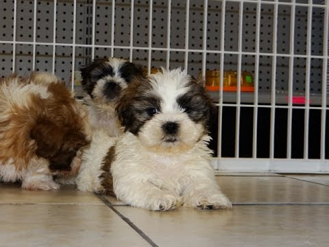 Shih Tzu, Puppies, Dogs, For Sale, In Jackson, Mississippi ...