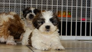 Shih Tzu, Puppies, For, Sale, In, Jackson, Mississippi, Ms, Clinton, Pearl, Horn Lake