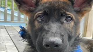 Cutest German Shepherd Dog Video Compilation #13
