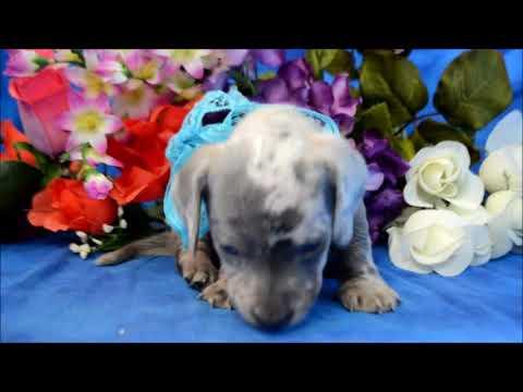 Nugget AKC Male Chocolate Tan Dapple LH Miniature Dachshund Puppy