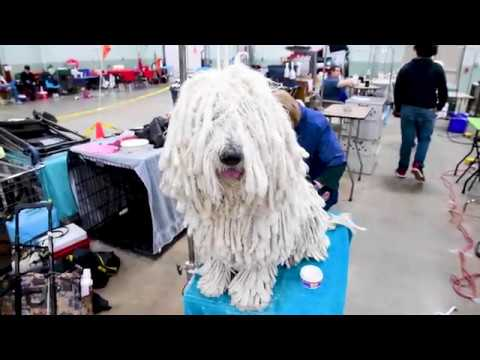 Addison the Komondor get groomed for the Celtic Classic All Breed Dog Show