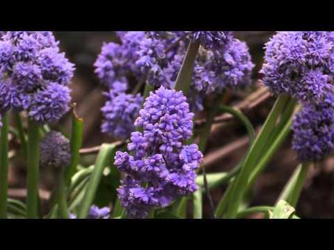 Muscari armeniacum - Traubenhyazinthe, Grape Hyacinth