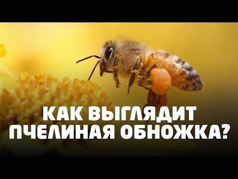 Как называется пыльца собранная пчелами