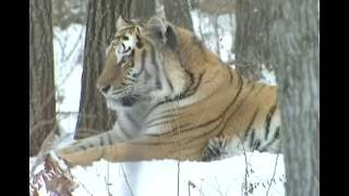 Siberian Tiger hunting Video | Siberian Tiger chase and kill deer