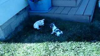Chihuahua Puppies - White And Blue, Chocolate Spotted!