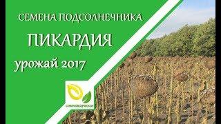 Семена подсолнечника Пикардия под Евролайтинг Урожай 2017 года!