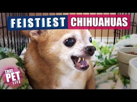 Feistiest Chihuahuas Ever  | Funny Dogs