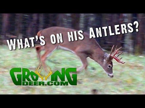 Deer Hunting | Strategies For Thermals, Wind Direction | Buck Behaviors (#472)