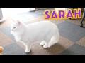 白い猫のサラ姫【茶白猫ルーさん 白い猫サラ ノルウェージャンフォレストキャット Norwegian Forest Cat Weegie】