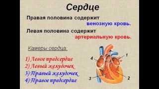 Кровеносная система. Строение и работа сердца.AVI