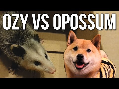 Ozy vs. Opossum! (Adorable, no violence)