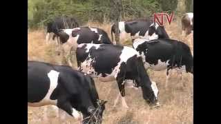 On the Farm: Rearing cattle in Mbarara