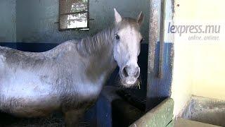 Maltraitance alléguée de chevaux: «Pas malades, juste vieux», dit la SIC