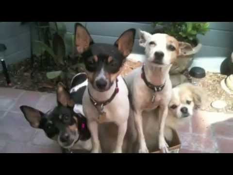 i Love Dogs Presents The Rat Terrier