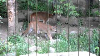 Cougars at the Oregon zoo