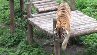 практически охота тигра(, 2015-05-01T19:56:20.000Z)