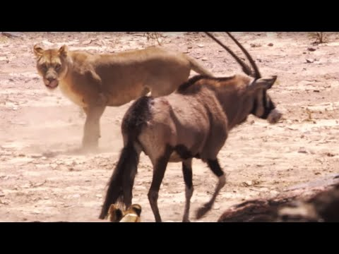 Lions attack Oryx - Natural World: Desert Lions - BBC Earth