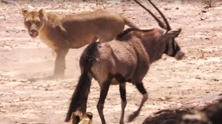 Young Lions Attack Oryx | BBC Earth