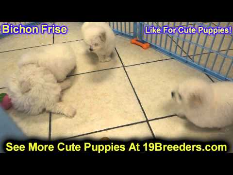 Bichon Frise, Puppies, Dogs, For Sale, In Hempstead Town, Borough, New ...