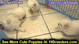 Bichon Frise, Puppies , For, Sale, In Staten Island, New York, Ny, Brooklyn, County, Borough