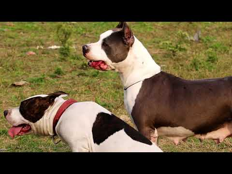 American Staffordshire terrier || AM STAFFS || Royal Staff Kennel  || Dog Kennel || Scoobers