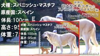 スパニッシュマスチフ 世界の超大型犬希少犬紹介.