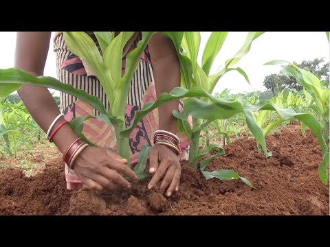 Maize Cultivation-Package of practice