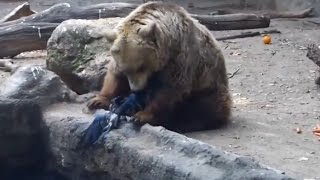 Медведь спас тонущую ворону / Bear rescued from drowning Crow [HD]