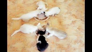 Funny Cat Pusia. 11.  Котята первый раз пробуют еду.