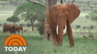 President Donald Trump Upholds Ban On Elephant Trophy Imports | TODAY