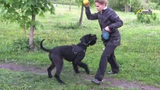 Дрессировка холеричных собак, воспитание ризена, конусы, мяч, массаж, команды окд