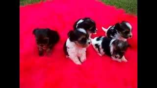 Images & Video  Biewer Yorkshire Terrier Puppies For Sale