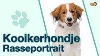 Kooikerhondje im Rasseportrait   Anfänger Hunderasse aus den Niederlanden