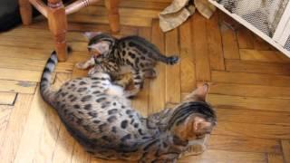 Бенгальские котята питомник (продажа)