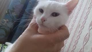Лайки  белая кошка разными глазами в Казани