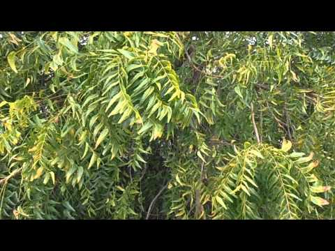 ÁRBOL DEL NIM: Azadirachta indica (www.riomoros.com)