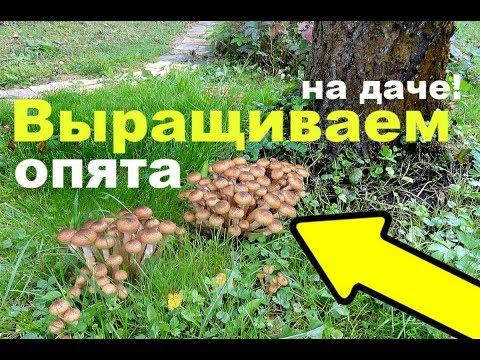 опята гриб выращивание
