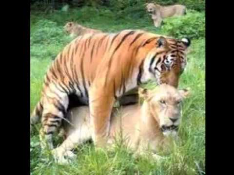Tiger with girl sex video