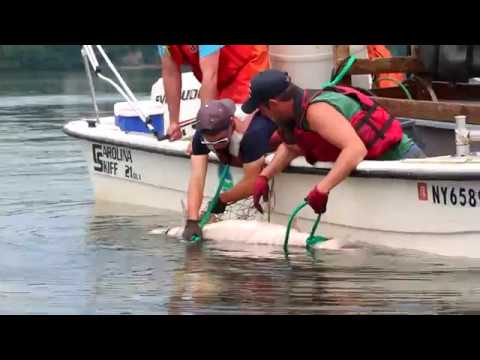 Atlantic Sturgeon Research On The Hudson River