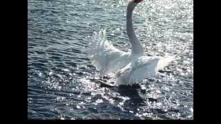 Лебедь. Сен-Санс. Звуки природы.mp4