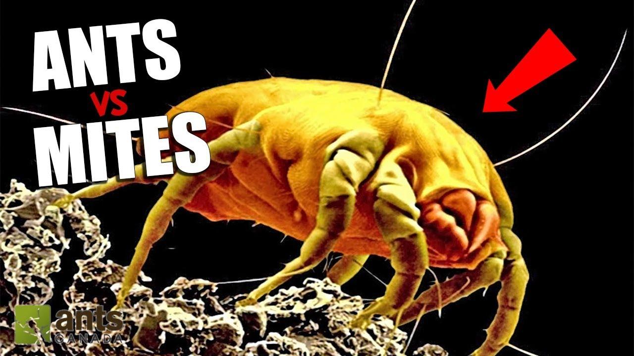Ants vs  Mites - The War Has Begun