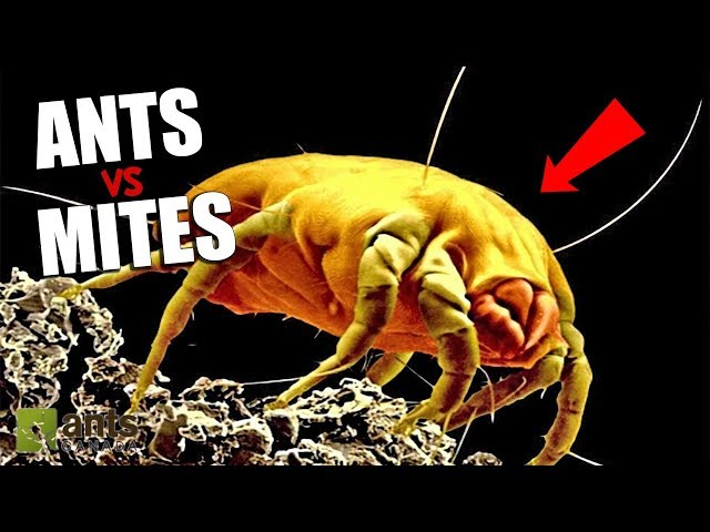 ANTS vs. MITES - AGAIN!!!