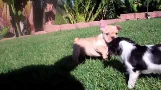 Princess The Cavalier King Charles Tri Color Puppy! Spaniel Plays With French Bulldog San Dieg