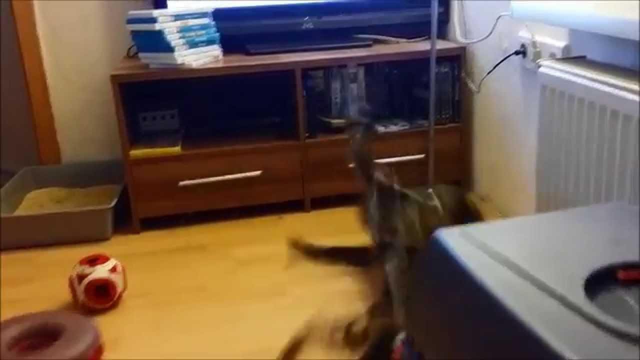 ali vs. anubis : ambushes / bengal cat / wildes wohnzimmer / no.9