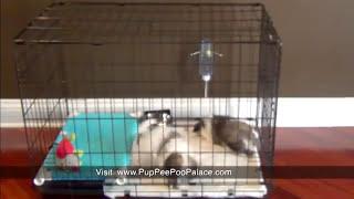 Potty training a havanese puppy, pee pad train a havanese pup, how do I housebreak a puppy