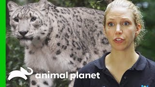 Snow Leopard Needs Eye Drops | The Zoo: From The Inside
