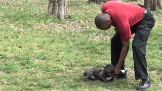 Guy Nashville Dog Trainer 102: Training A French Bulldog Puppy Advance Obedience
