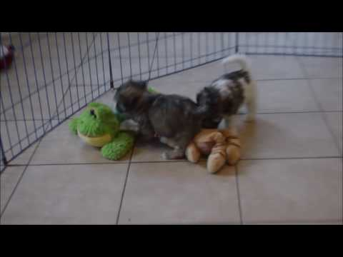 Amazing Havanese puppies available!