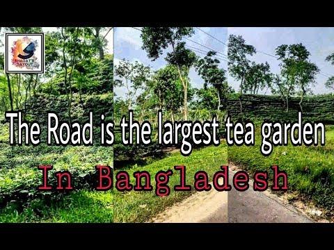 Bangladesh is the largest tea garden in Sylhet