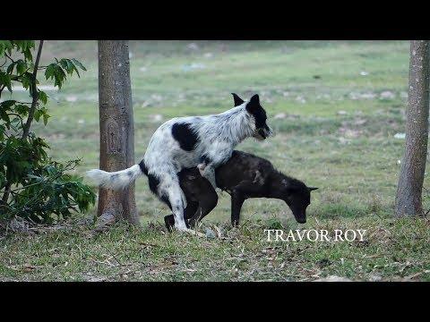 Great VillageDogs!!!!! Shepherd Meeting Belgian Malinois At Field Near Green Field Near Home